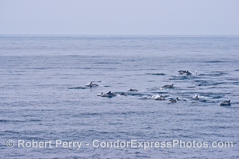 The leading edge of a large common dolphin herd