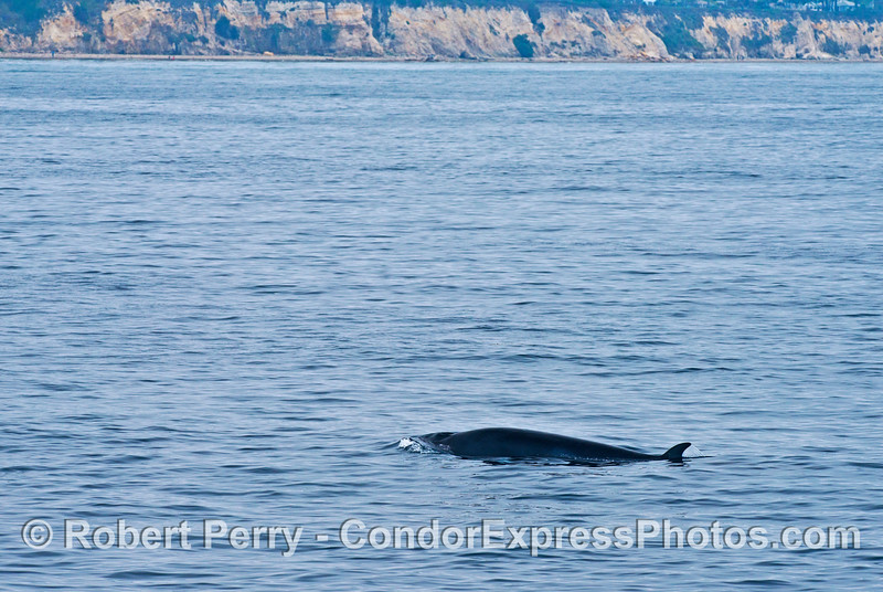 Another Minke whale swims close to the Santa Barbara coast