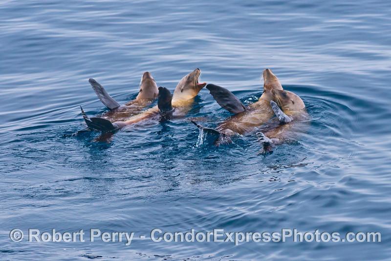 Los cuatro amigos - California sea lions rafting on a glassy day