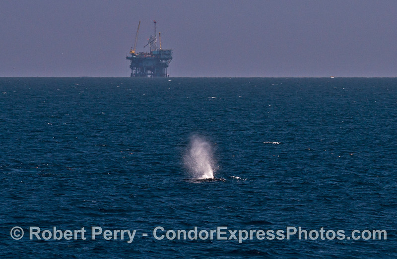 An offshore oil platform stands in back of a spouting humpback whale