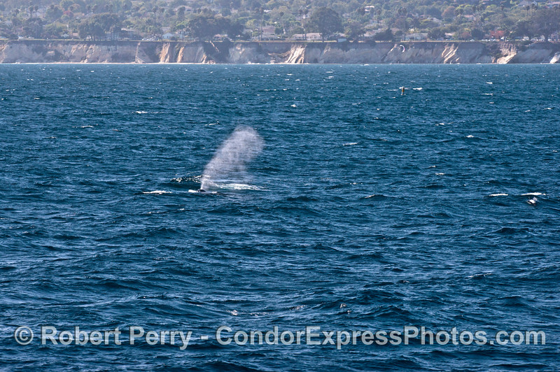 A humpback whale sends up a tall spout wth the cliffs and Shoreline Drive in Santa Barbara in the background