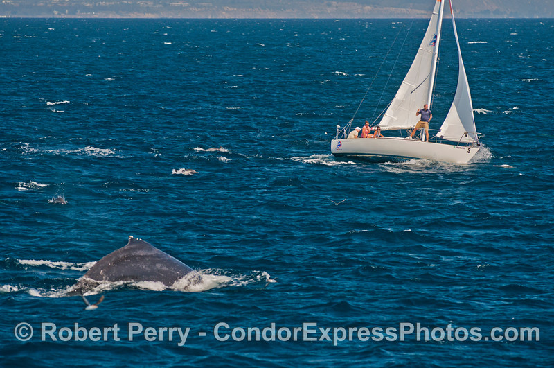 A humpback whale approaches a small sail boat