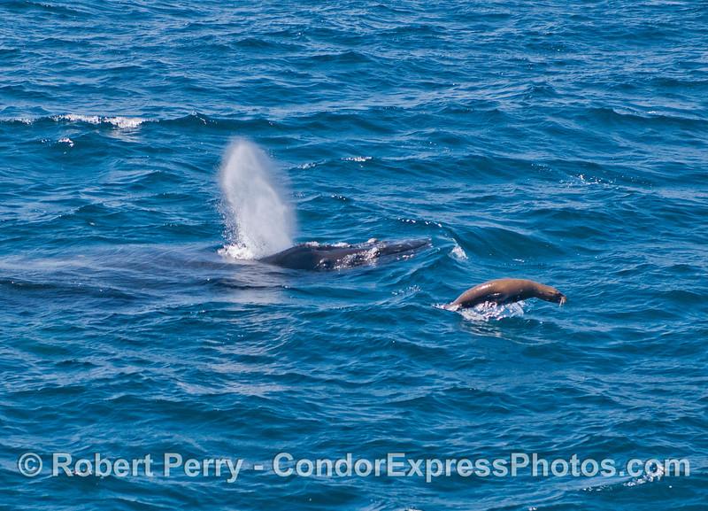 A humpback whale and its sea lion pal