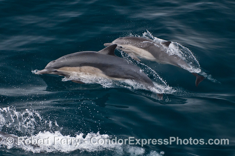 A mother common dolphin (left) and her calf