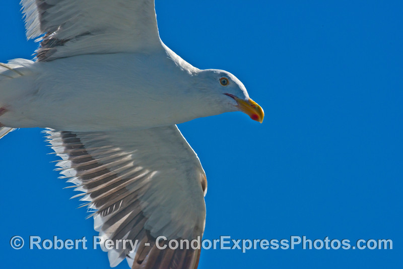 Dave's favorite bird hovers above his head and is captured by the camera against the clear blue sky