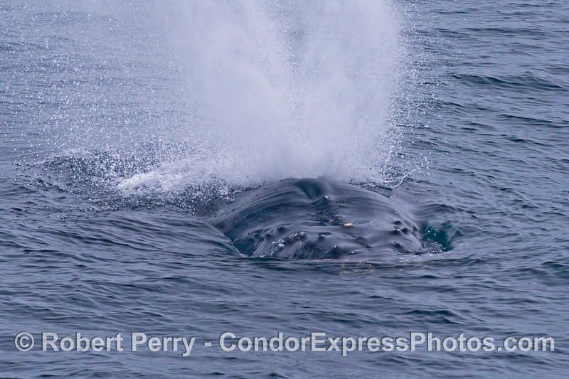 Close up look at a spouting humpback whale