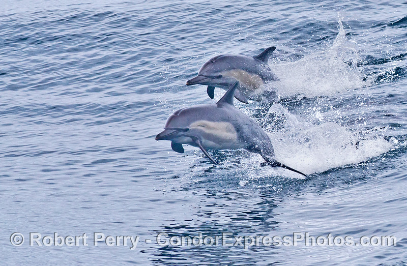 Two leaping dolphins