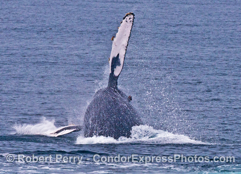 "Image 3 of 7:  the humpback whale ""Top Notch"" breaching"