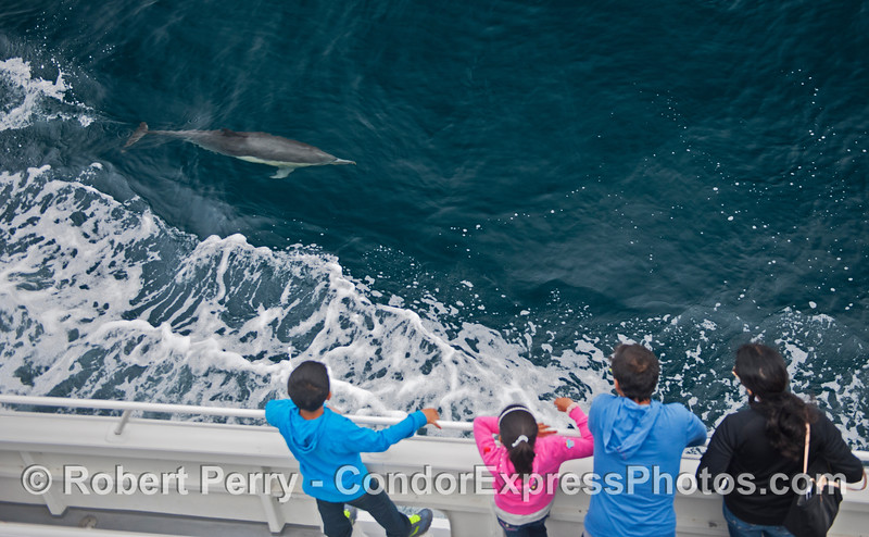 Supreme dolphin viewing location - the Condor Express