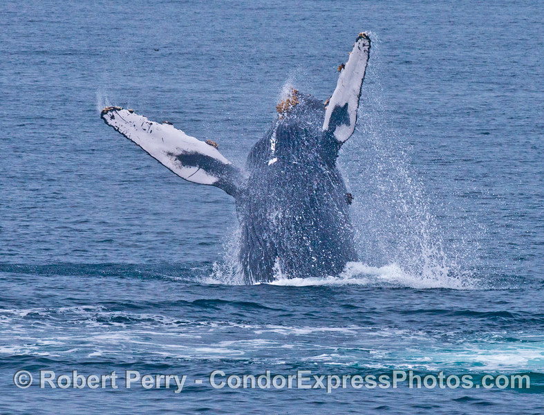 "Image 7 of 7:  the humpback whale ""Top Notch"" breaching"