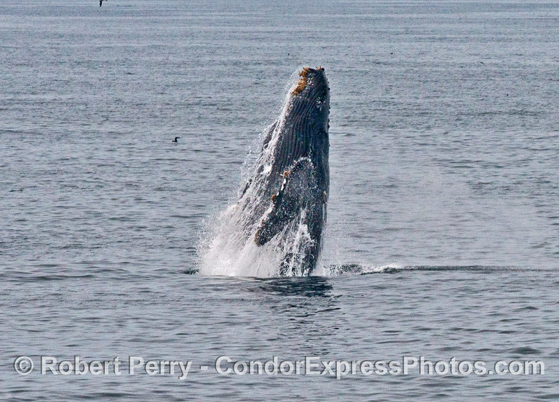 "Image 6 of 7:  the humpback whale ""Top Notch"" breaching"