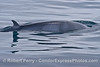 One of ten great looks at a friendly Minke whale on a very glassy morning.