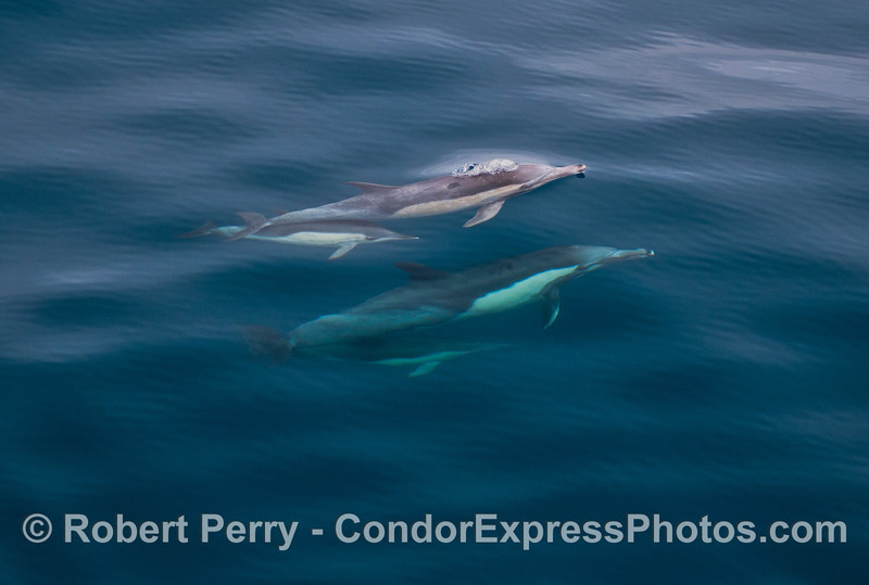 Two mother common dolphins and their calves