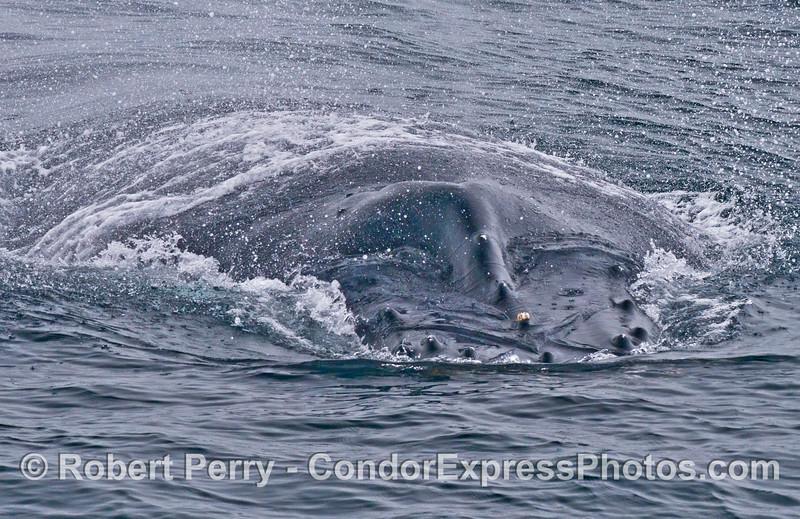 A wide humpback whale