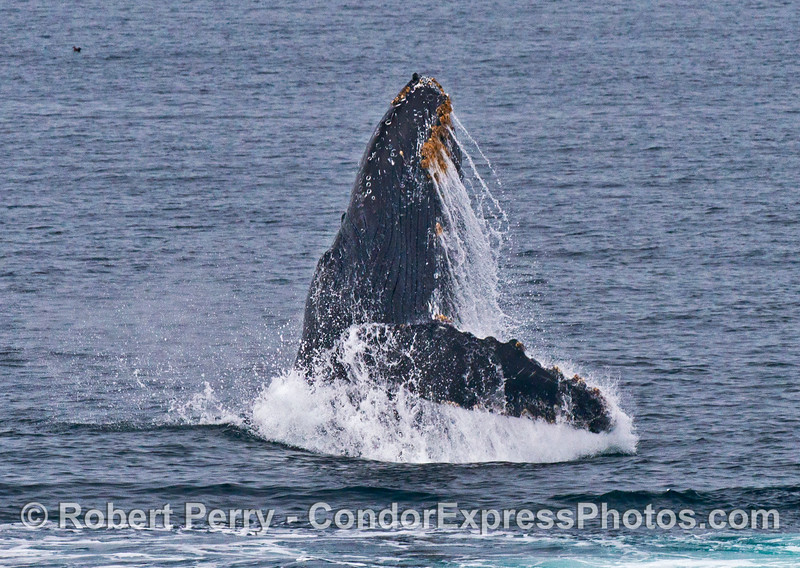"Image 2 of 7:  the humpback whale ""Top Notch"" breaching"