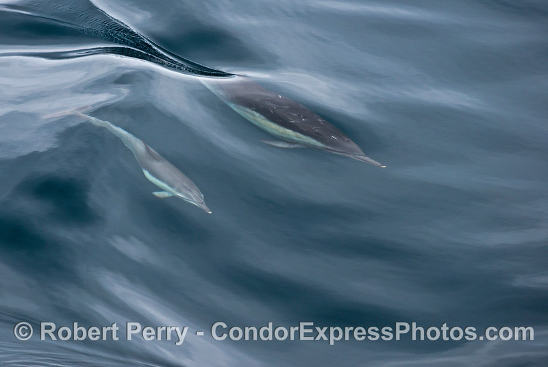 Common dolphin mother and calf