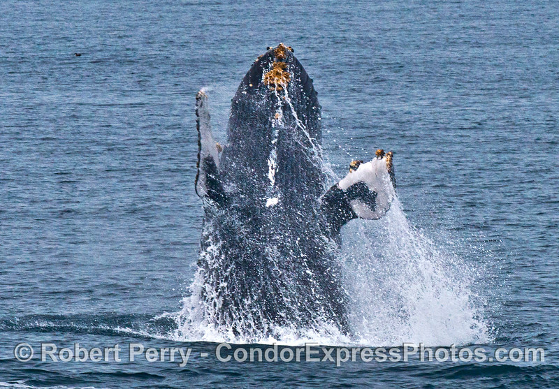 "Image 1 of 7:  the humpback whale ""Top Notch"" breaching"
