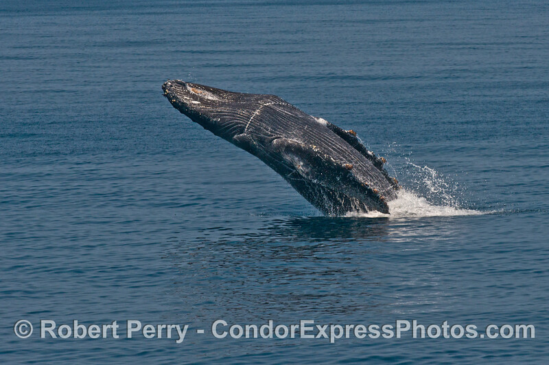 "Image 4 of 6:  ""Lucky,"" the rescued humpback whale, breach sequence."