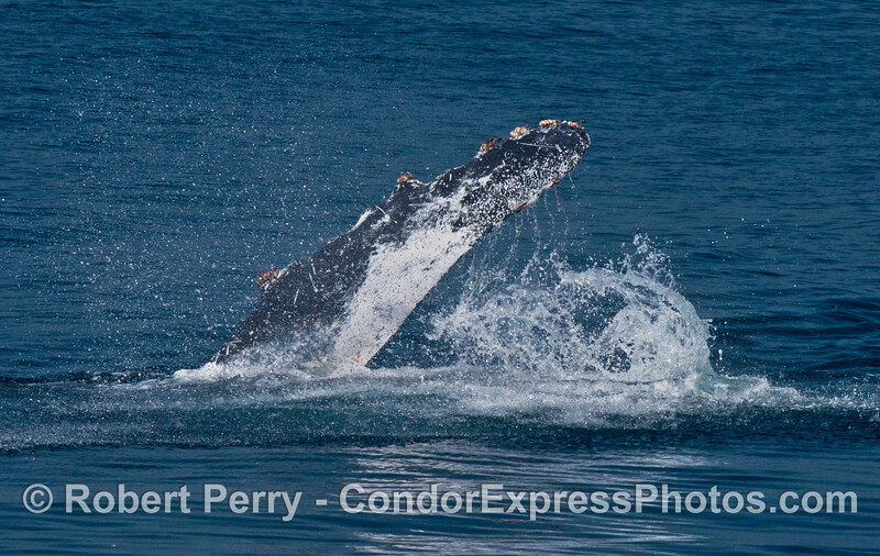 Humpback whale pectoral fin slapping