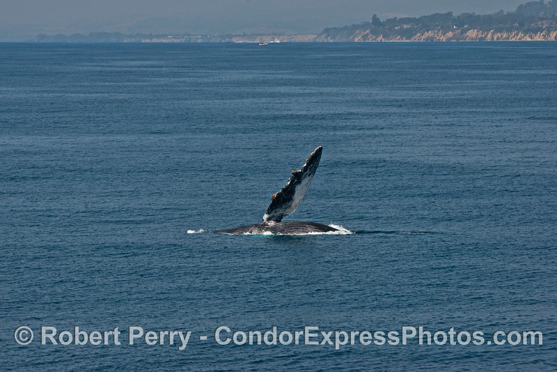 Humpback whale pectoral fin slapping with the Santa Barbara coastline in back.