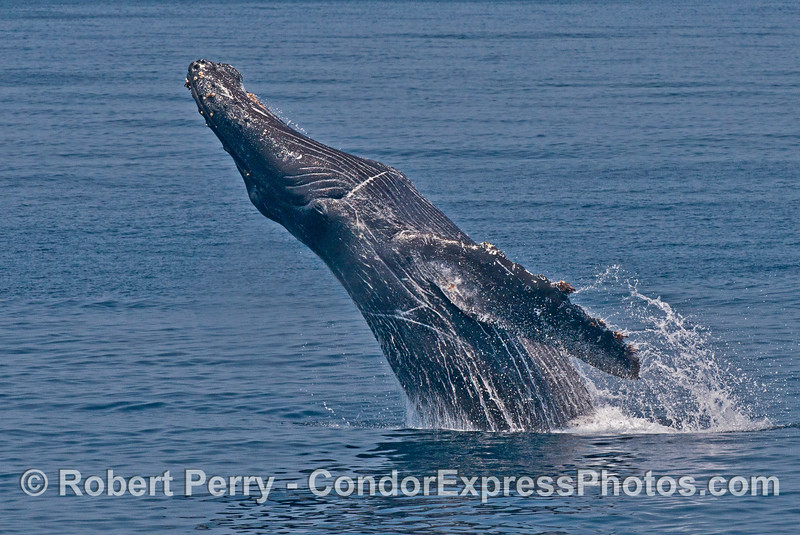 "Image 3 of 6:  ""Lucky,"" the rescued humpback whale, breach sequence."