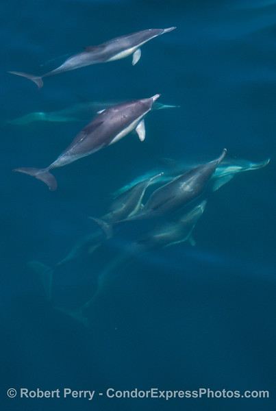 Layers of common dolphins underwater