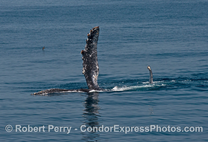 Lucky the humpback whale is seen on its side with its left pectoral fin in the air during a fin slapping session.