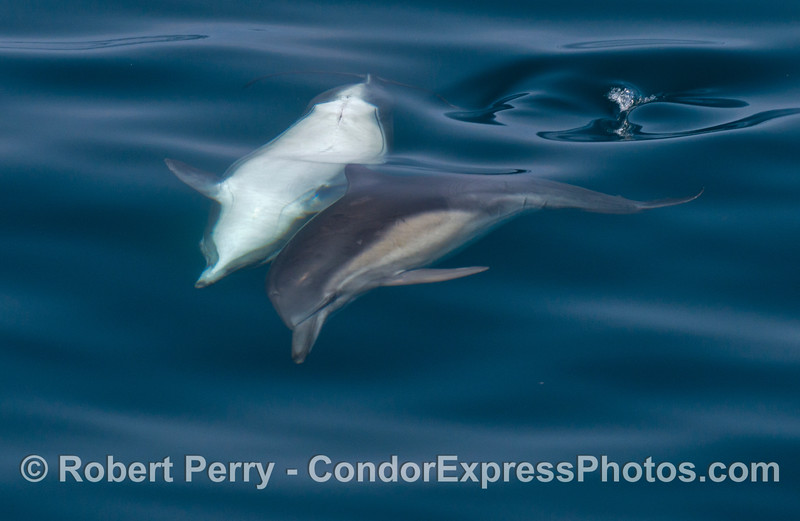 Image 1 of 3:  common dolphin courtship.