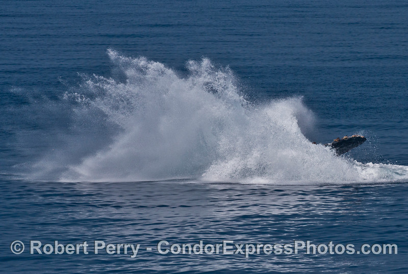 "Image 6 of 6:  ""Lucky,"" the rescued humpback whale, breach sequence."