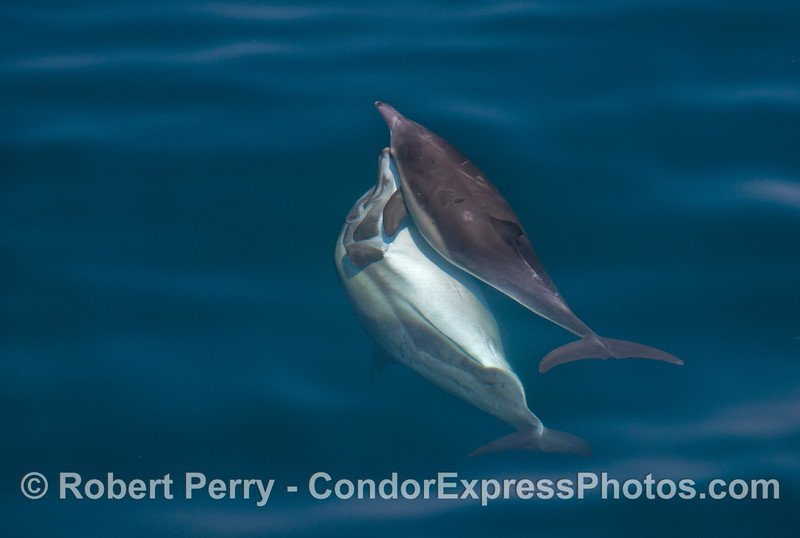 Image 2 of 3:  common dolphin courtship.