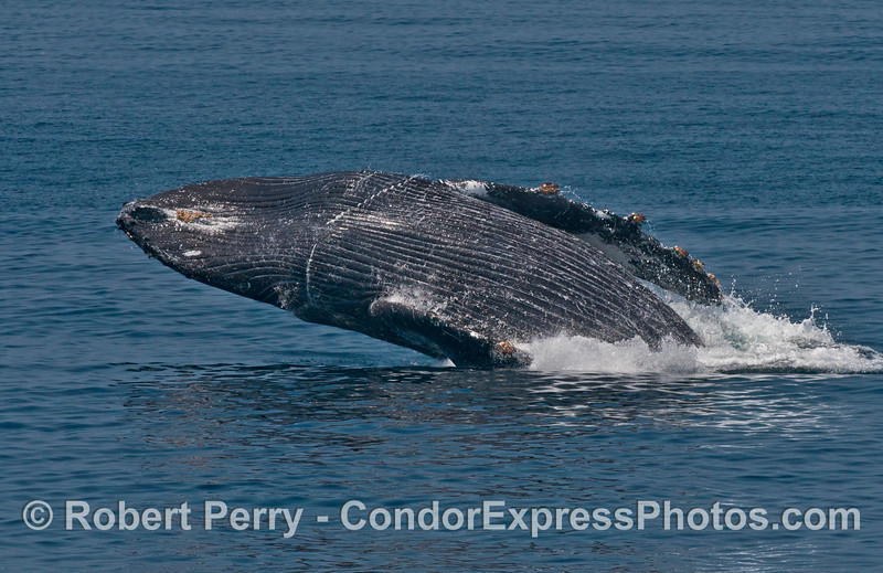 "Image 5 of 6:  ""Lucky,"" the rescued humpback whale, breach sequence."