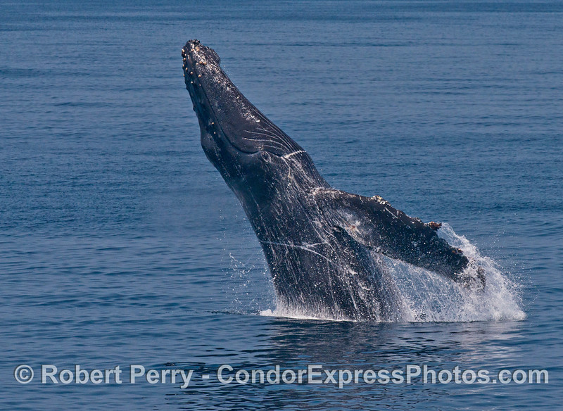 "Image 2 of 6:  ""Lucky,"" the rescued humpback whale, breach sequence."