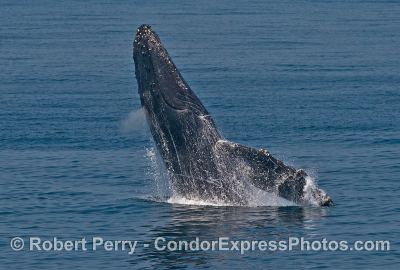"""Image 1 of 6:  """"Lucky,"""" the rescued humpback whale, breach sequence."""