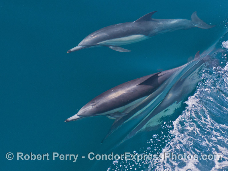 Two surfing common dolphins