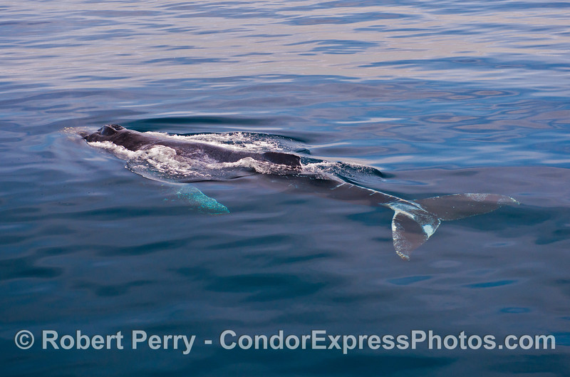 """The whole body of """"Lucky,"""" an adult humpback whale is seen under the extremely clear water."""
