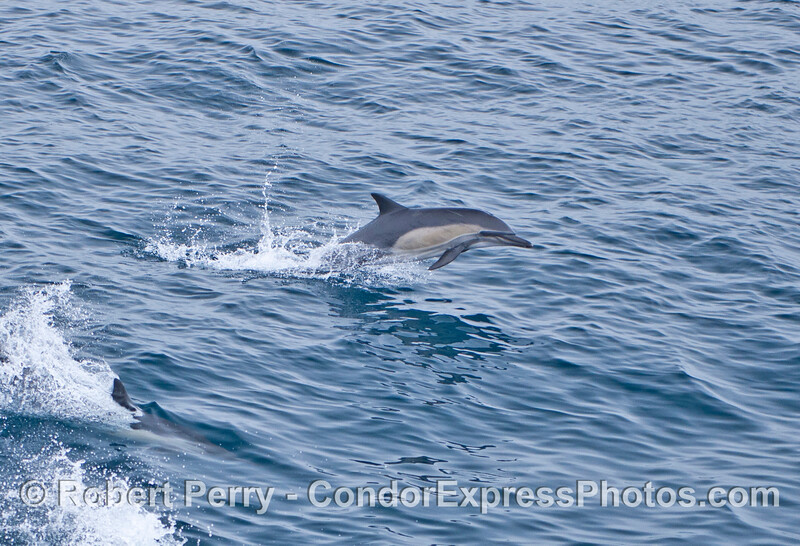 Leaping common dolphin