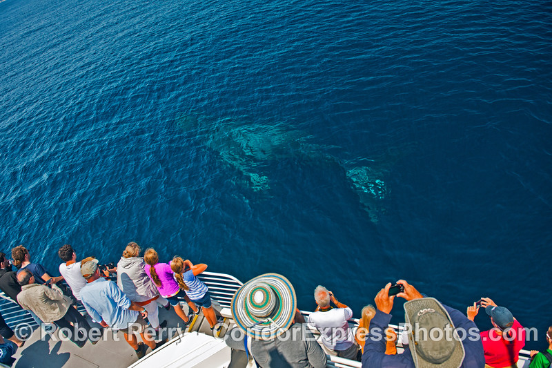 Lucky the humpback whale is seen down below the surface.
