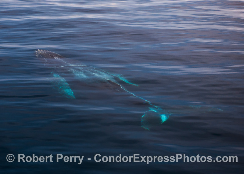 "The whole body of ""Lucky,"" an adult humpback whale is seen under the extremely clear water."