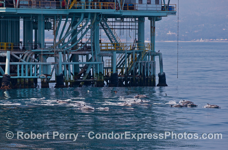 A herd of common dolphins passes close to offshore oil platform Hillhouse