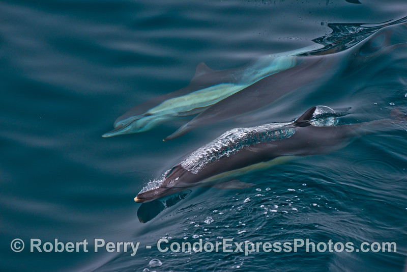 Common dolphins surfing a small wave.