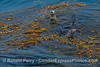 California sea lions in giant kelp