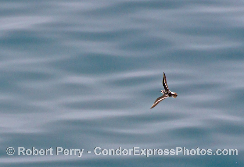 A red-necked phalarope.