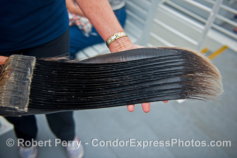 Outer edge of baleen from a fin whale.  Sample courtesy of NOAA and the Santa Barbara Museum of Natural History.