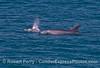 Inshore (or coastal) bottlenose dolphins