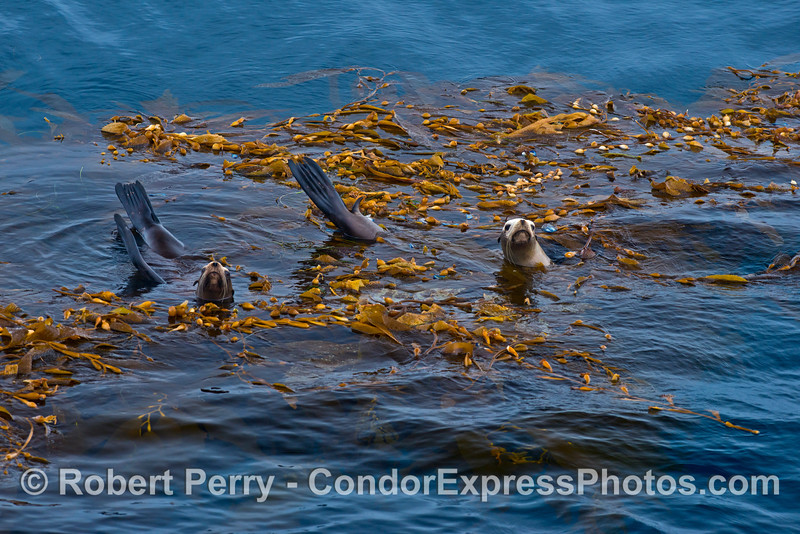 California sea lions in giant kelp