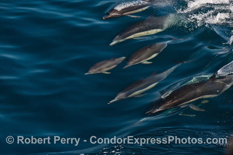 A young common dolphin calf is seen leading a pod of surfing adults