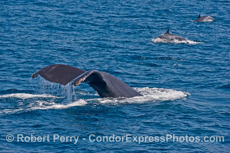 Rope, a large female that was entangled over 12 years ago, kicks up her tail as common dolphins pass by