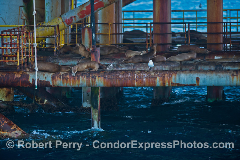 Agile California sea lions have climbed up to rest on the lower structures of Platform Habitat