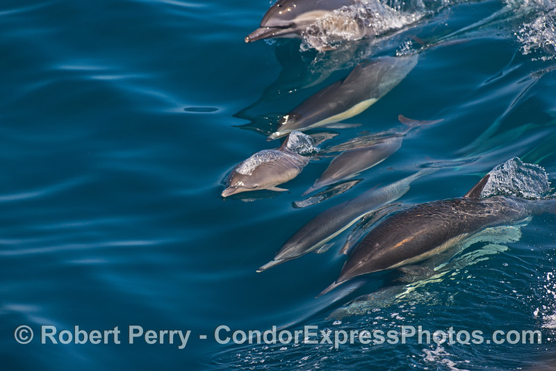 In the middle of a line of surfing common dolphins we see a tiny calf
