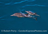 Mother common dolphin and her calf